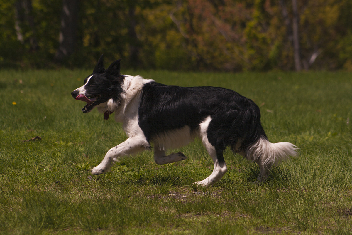 Border Collie mâle