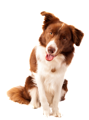 border collie brun