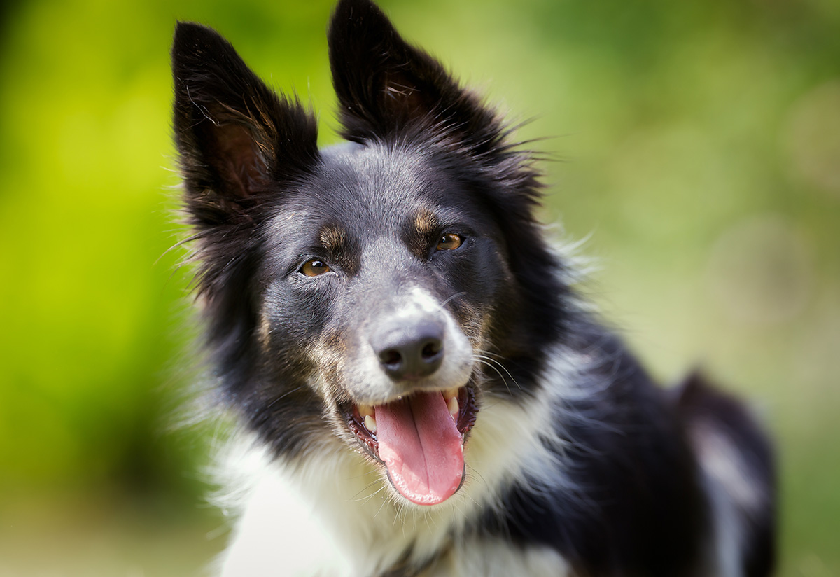 Border Collie adulte